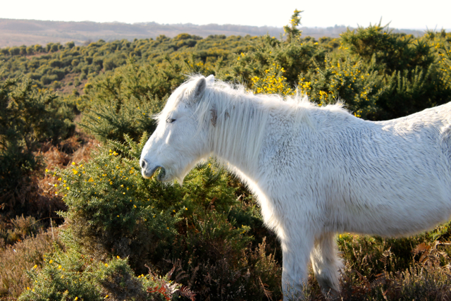 The New Forest pony is known as the 'architect' of the Forest, because their grazing habits shape the landscape.
