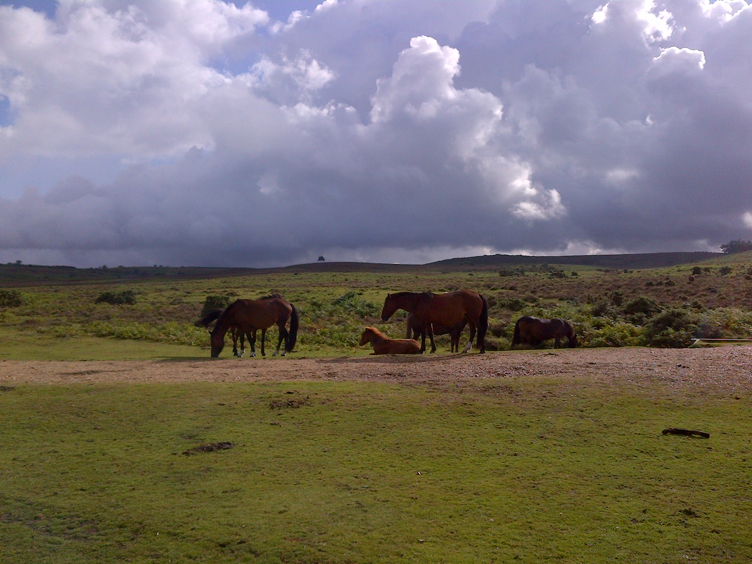 The New Forest ponies roam freely in small family herds that can consist of mares, fillies, colts and geldings.
