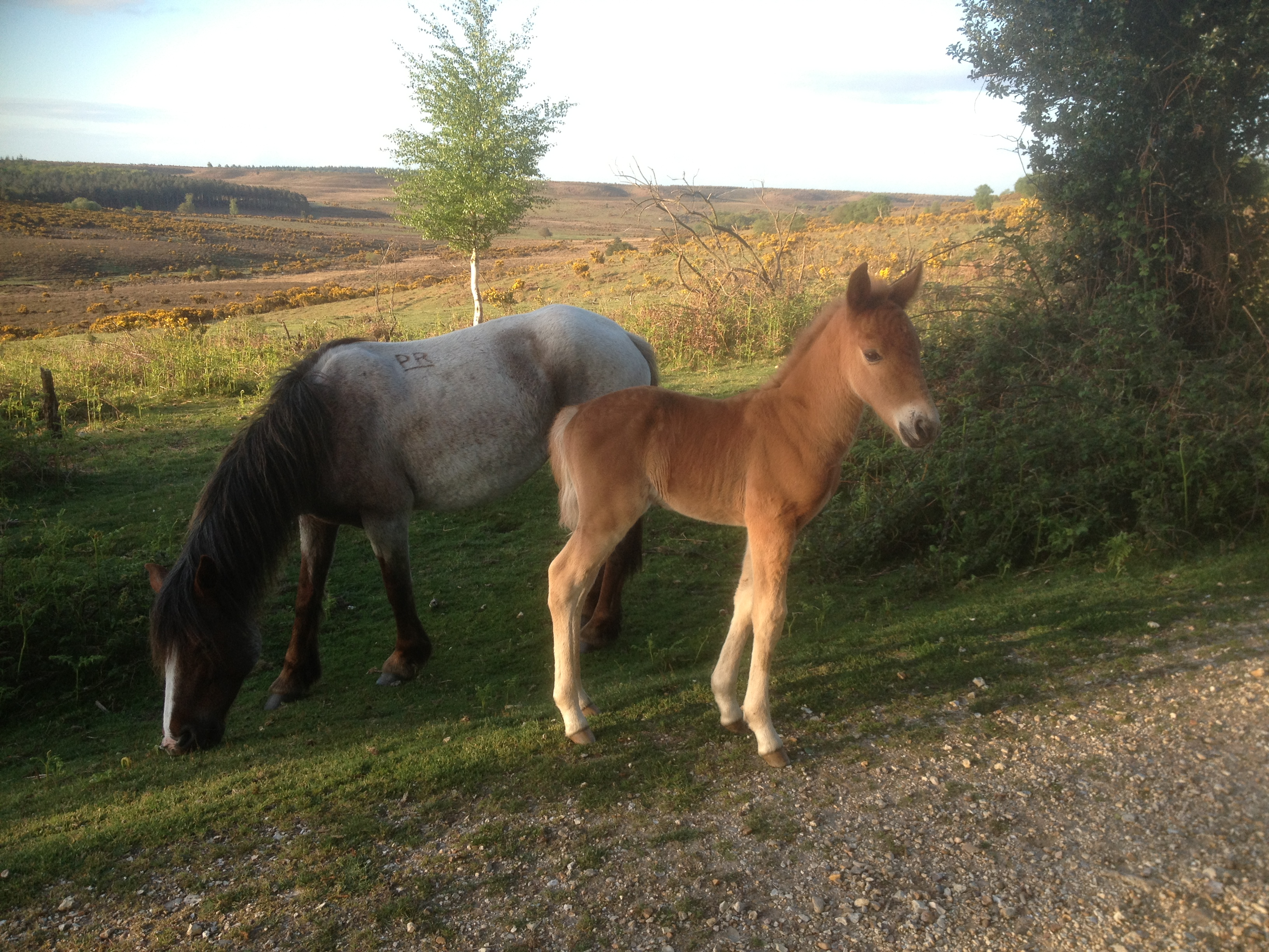 The foals born on the New Forest represent a living heritage.