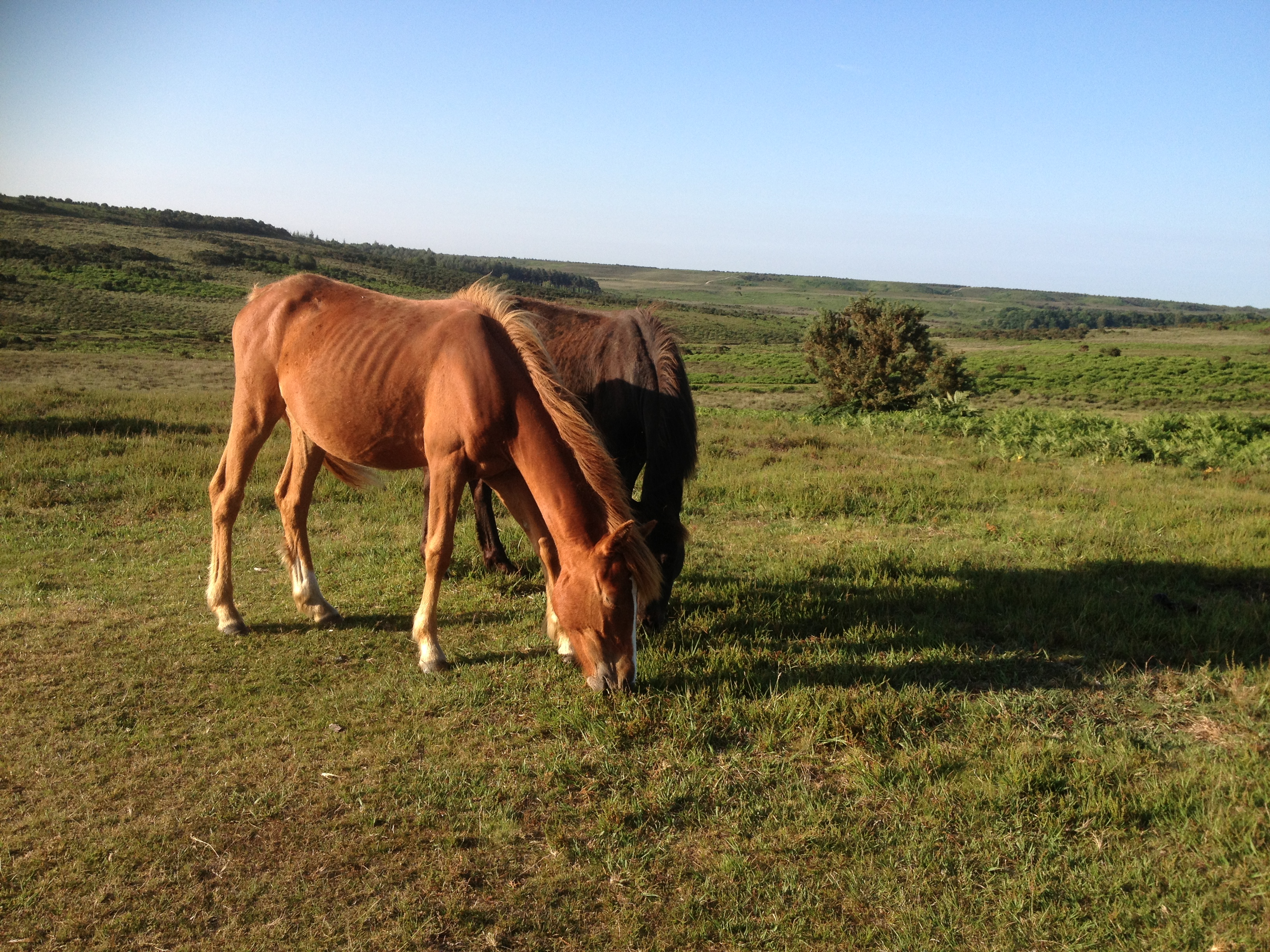 The flush of spring grass will ensure 'Doctor Green' will act as a tonic on the free-roaming ponies of the New Forest.