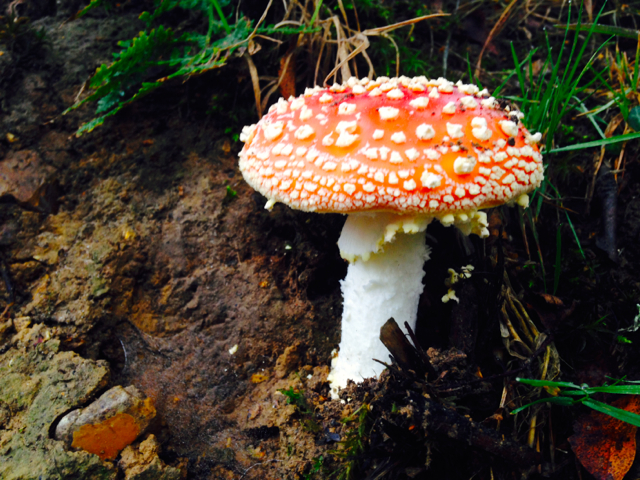 The New Forest has many species of fungi, which rely upon fallen trees and the decay of other plant material.