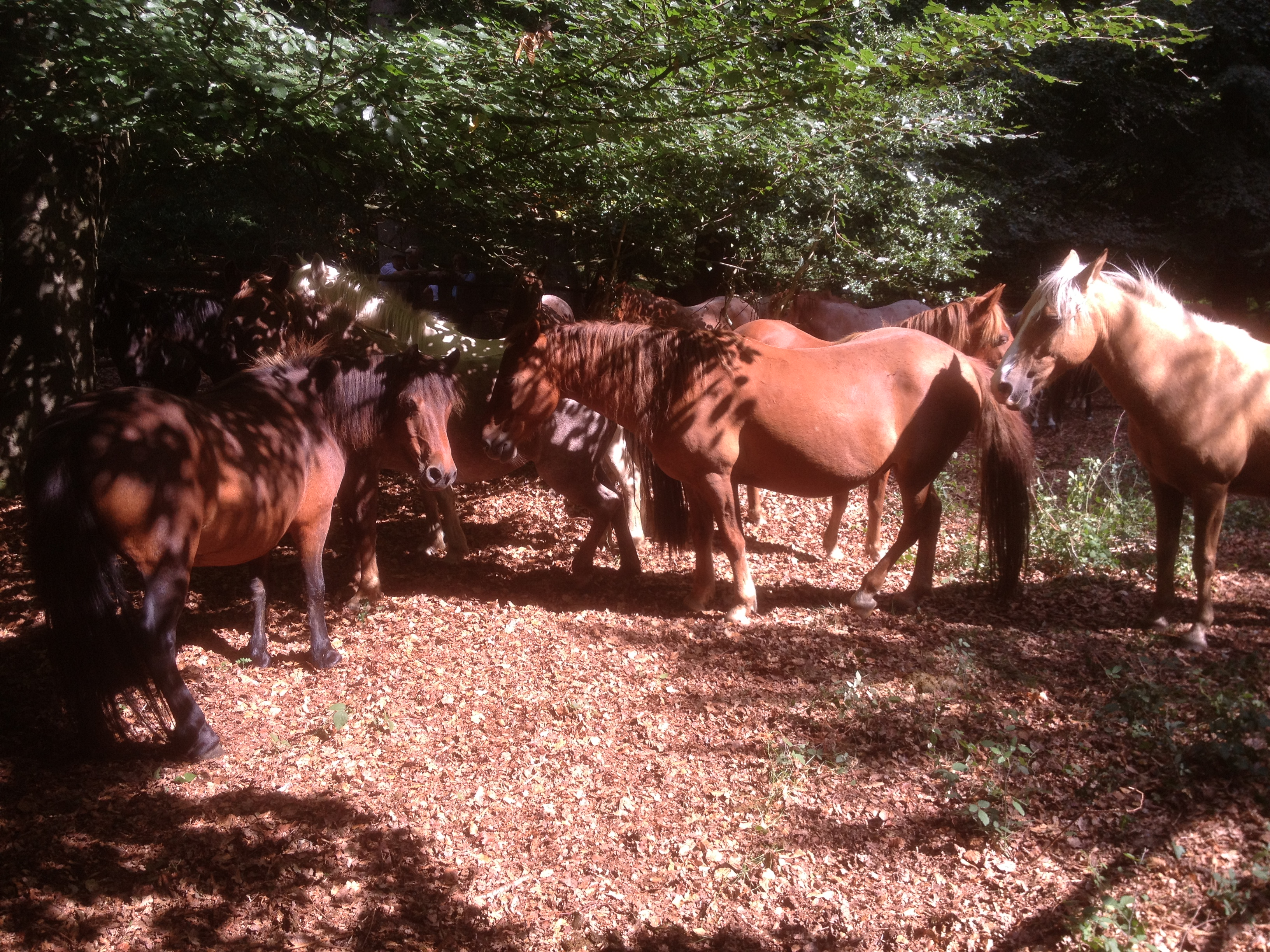 The New Forest ponies co-operate to reduce the plague of flies by using a partners tail to swot flies.
