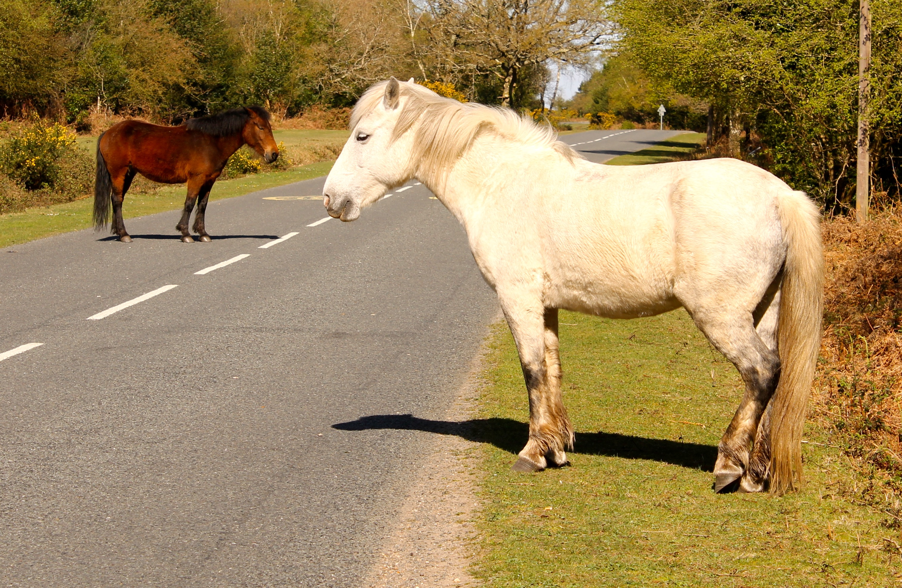 The 'wild' ponies use the New Forest road system at all times of the year.