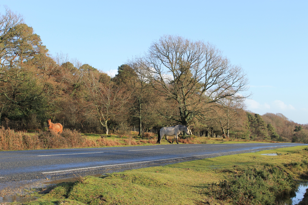 The ponies on the New Forest use the roads to travel their territories.