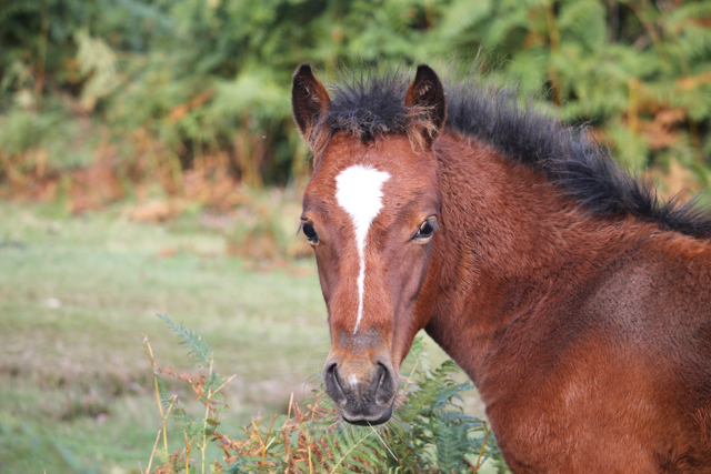 The foals born on the New Forest follow an ancient lineage.