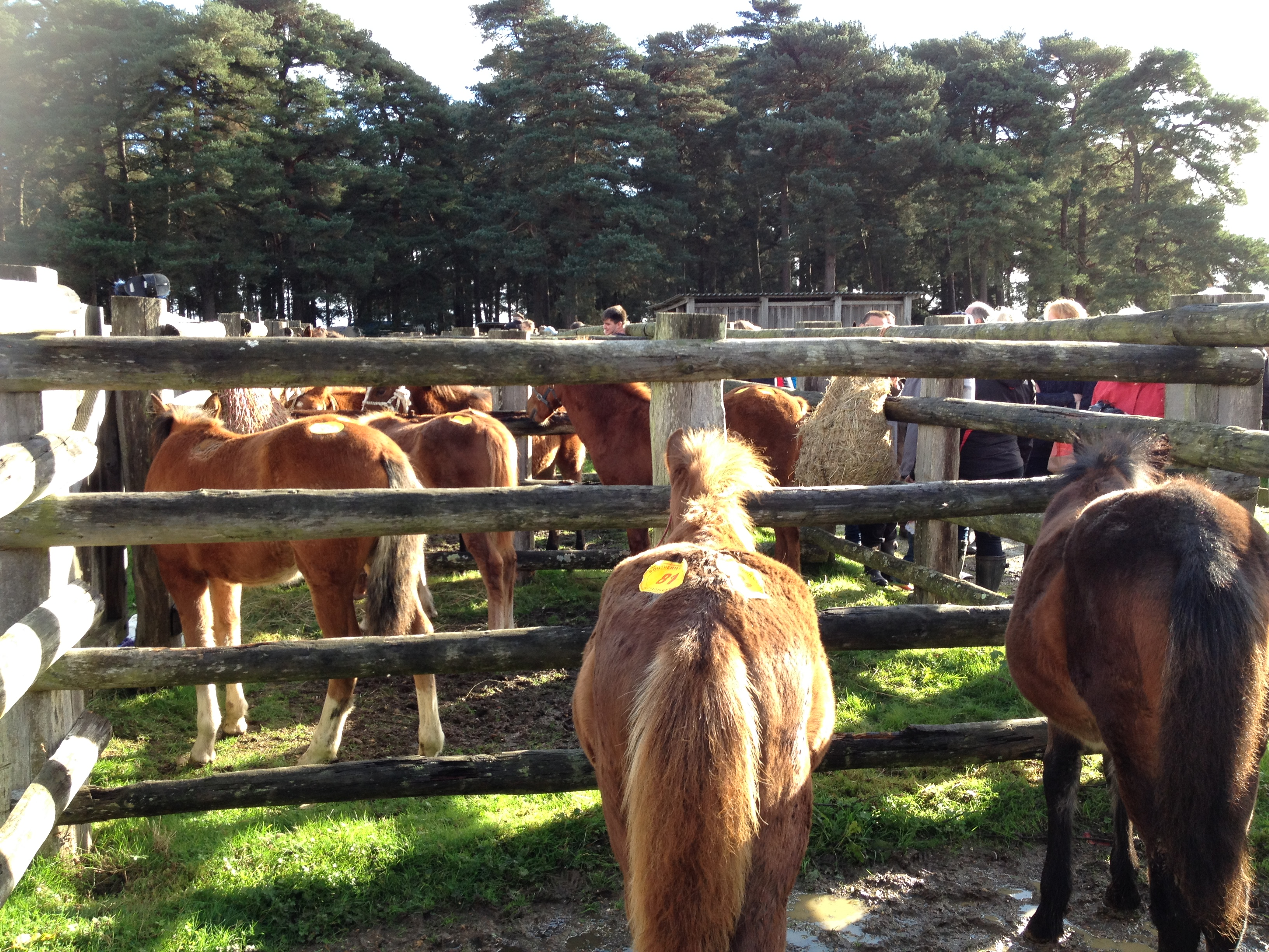 The Beaulieu Road sales Yard offers the best facilities for processing semi-feral ponies.