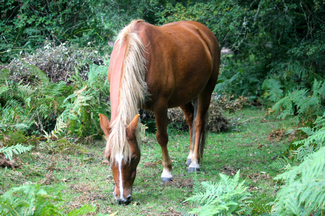 Only ponies habituated to the New Forest are turned out.