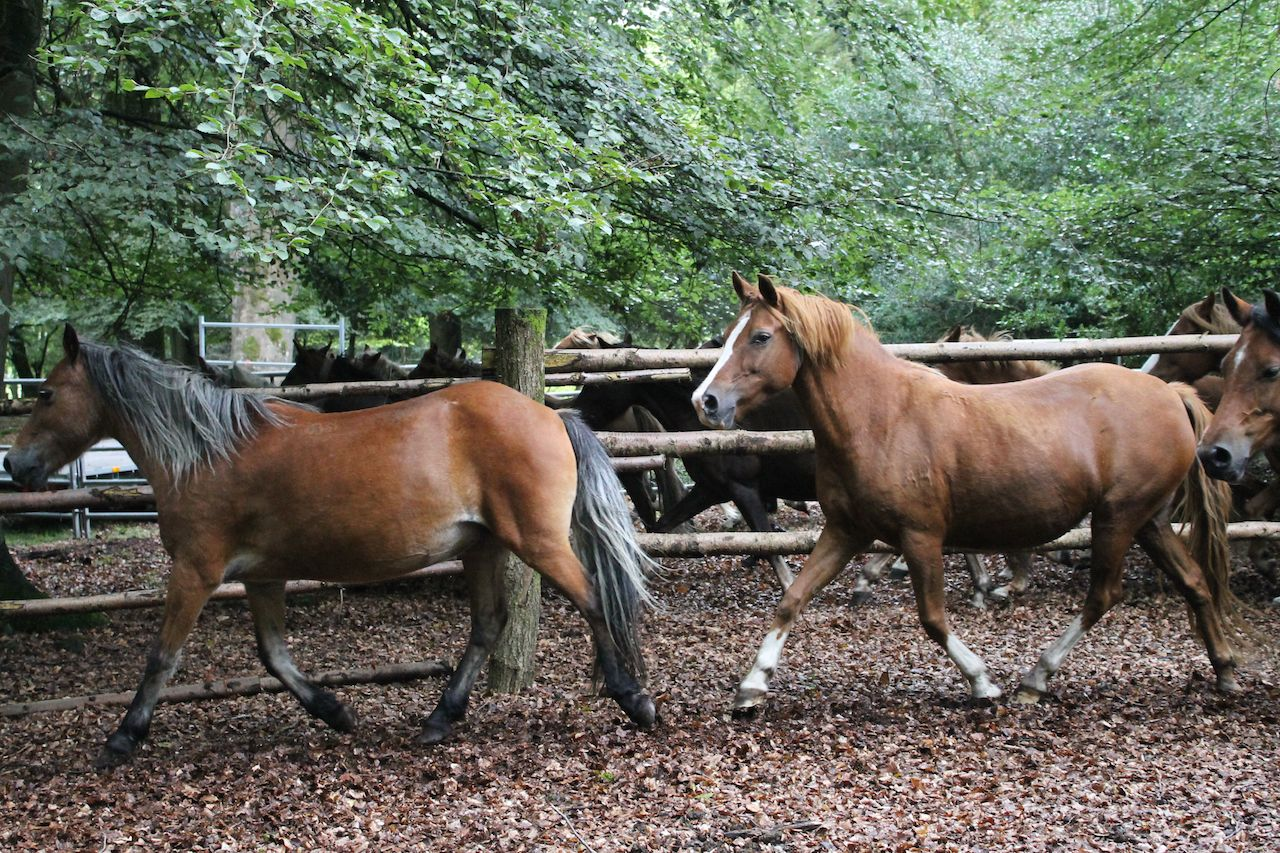The annual pony drifts, or round-ups, take place each autumn.