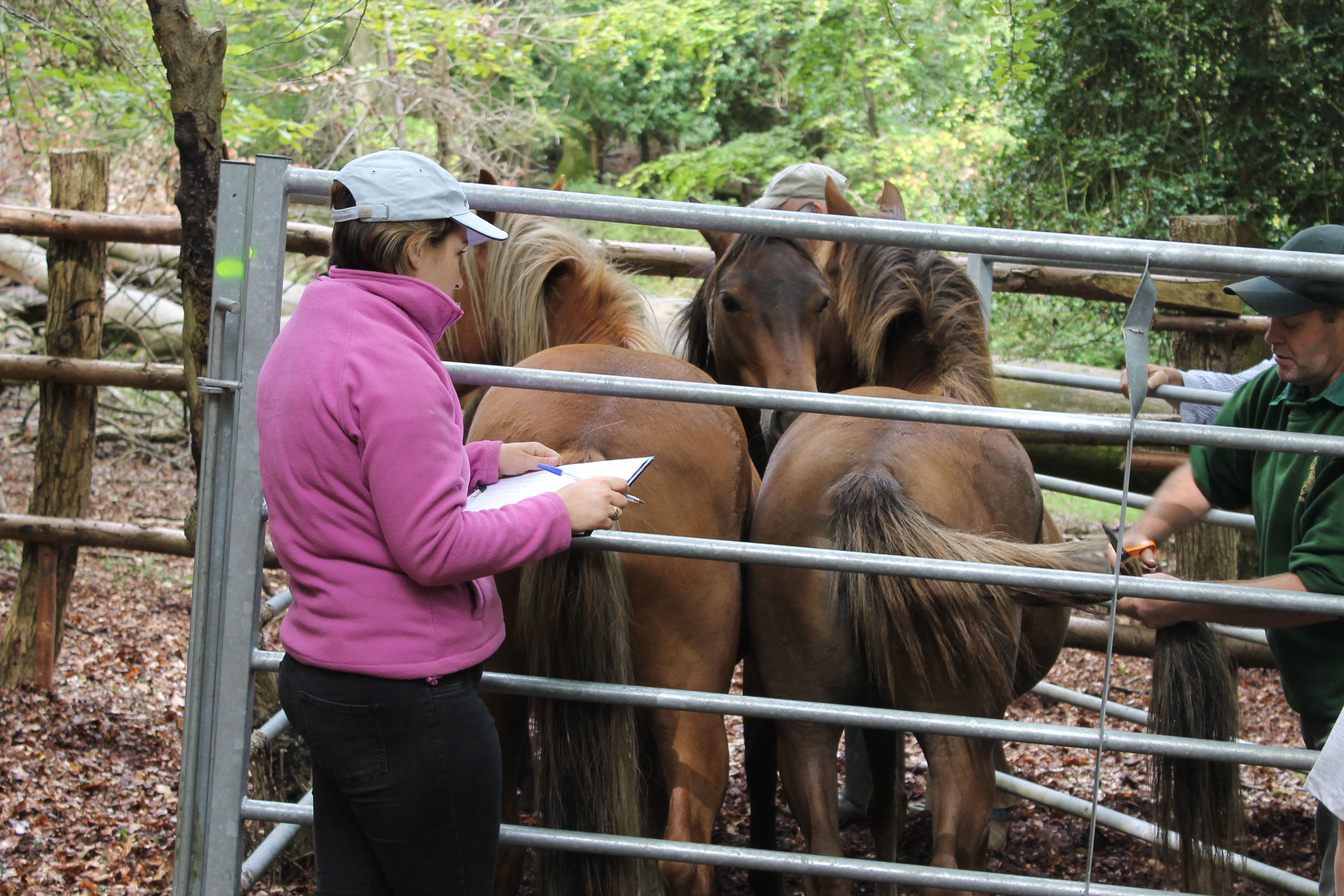 The Agister cuts the pony's tail to show the owner has paid their marking fee.