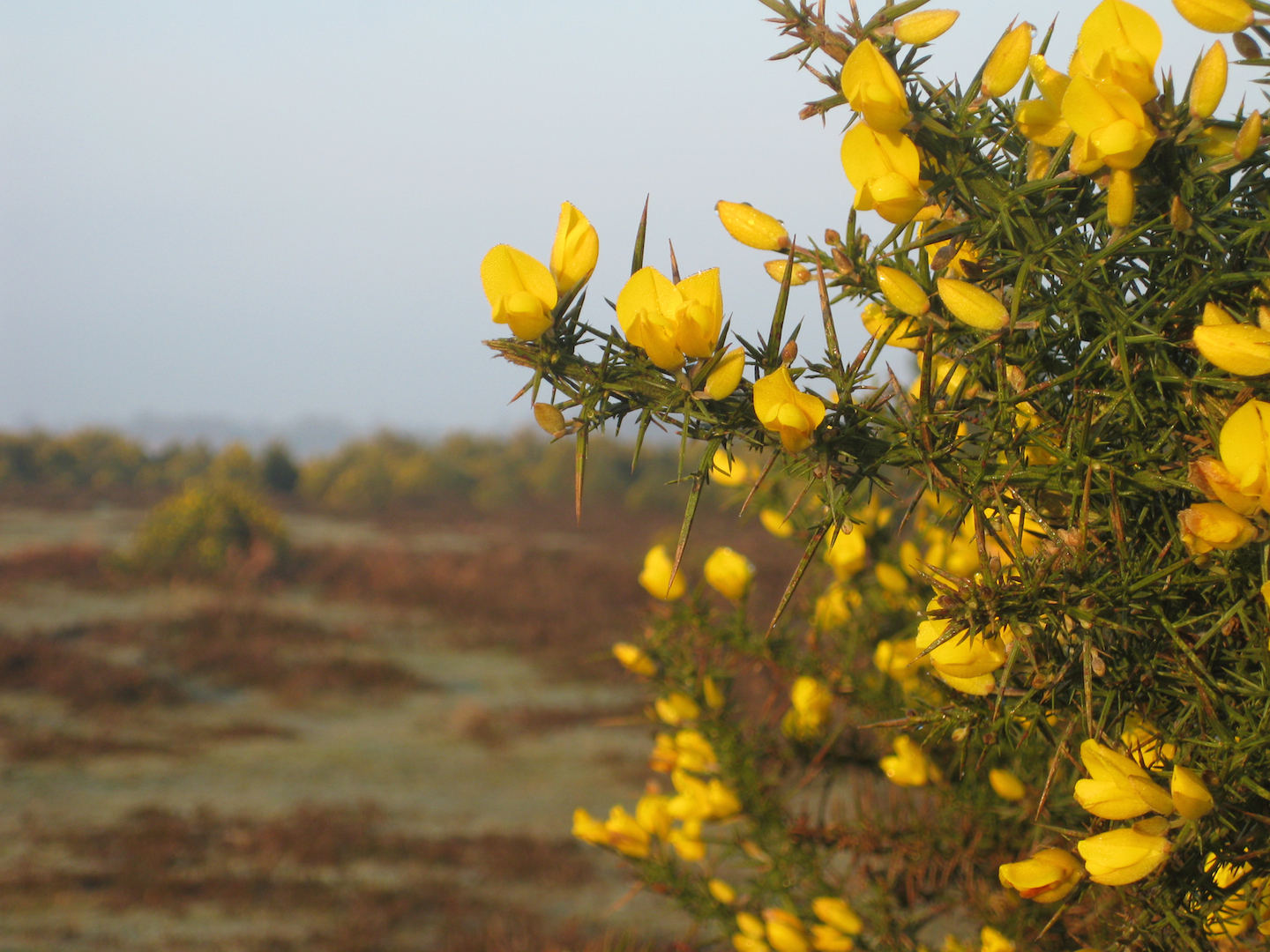 Gorse is an important food source for New Forest ponies and the reason many developed moustaches.