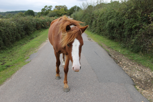 Ponies who regularly wandered beyind the Forest boundary to graze the verges were known as 'Lane Creepers'.