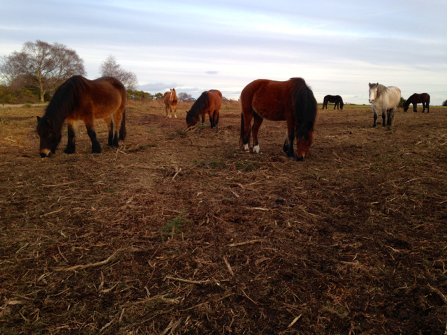 Gorse-cutting is a traditional healthland management practice and one appreciated by the ponies.