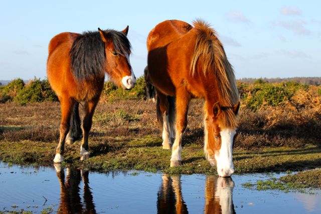 Temporary ponds are an important habitat for species of invertebrate and amphibian species - but also very convenient for the wild ponies.