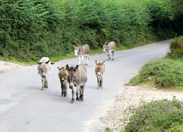 The courting behaviour of the free roaming donkeys cause the vicar of East Boldre to complain to the Verderers.
