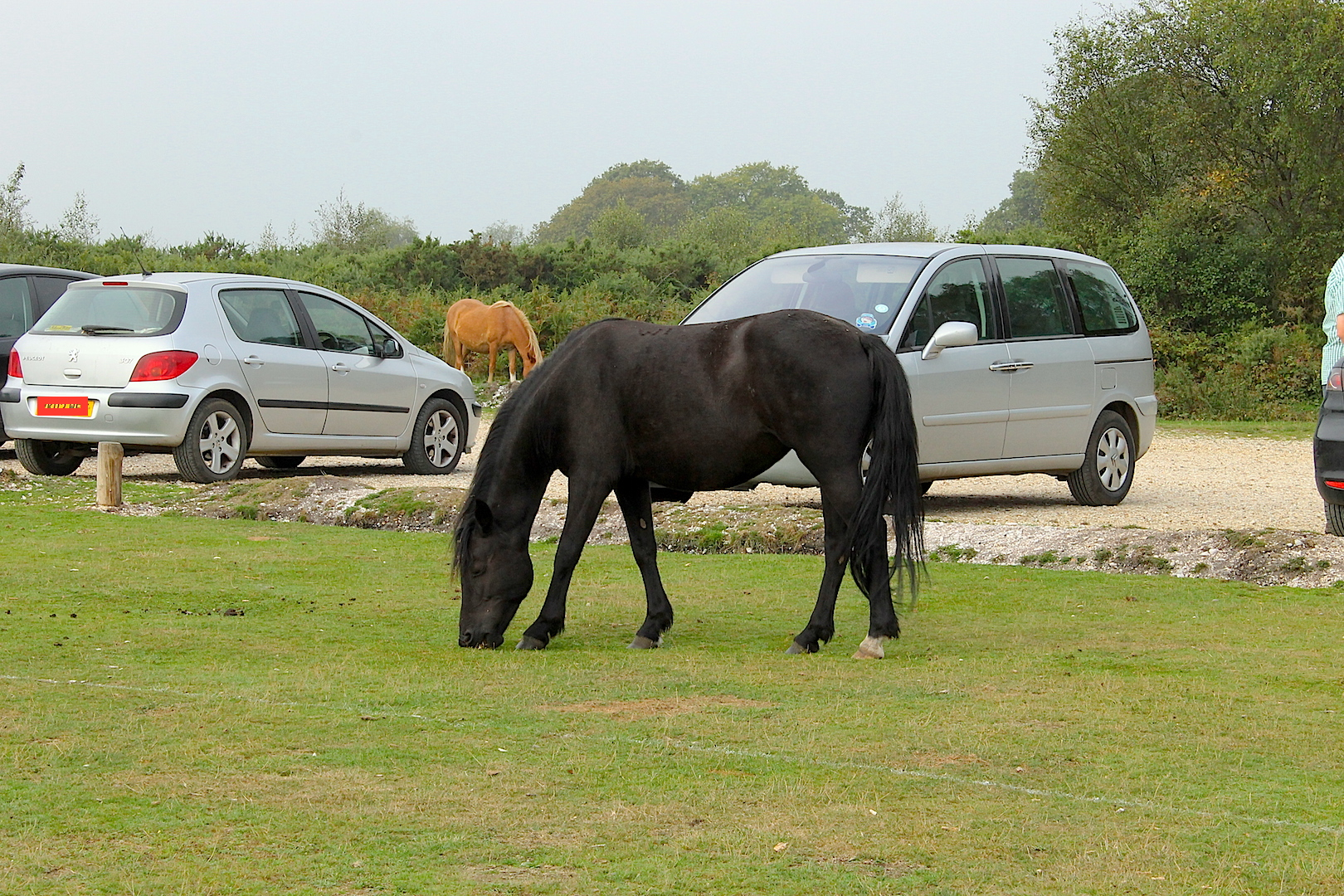 Visitors who feed New Forest ponies are teaching them not to fear humans or cars.