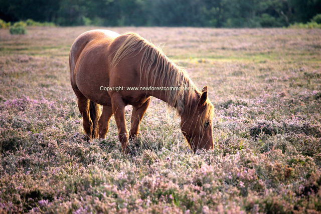 Although the New Forest ponies are referred to as 'wild' the herds are a mixure of semi-feral and domesticated animals.