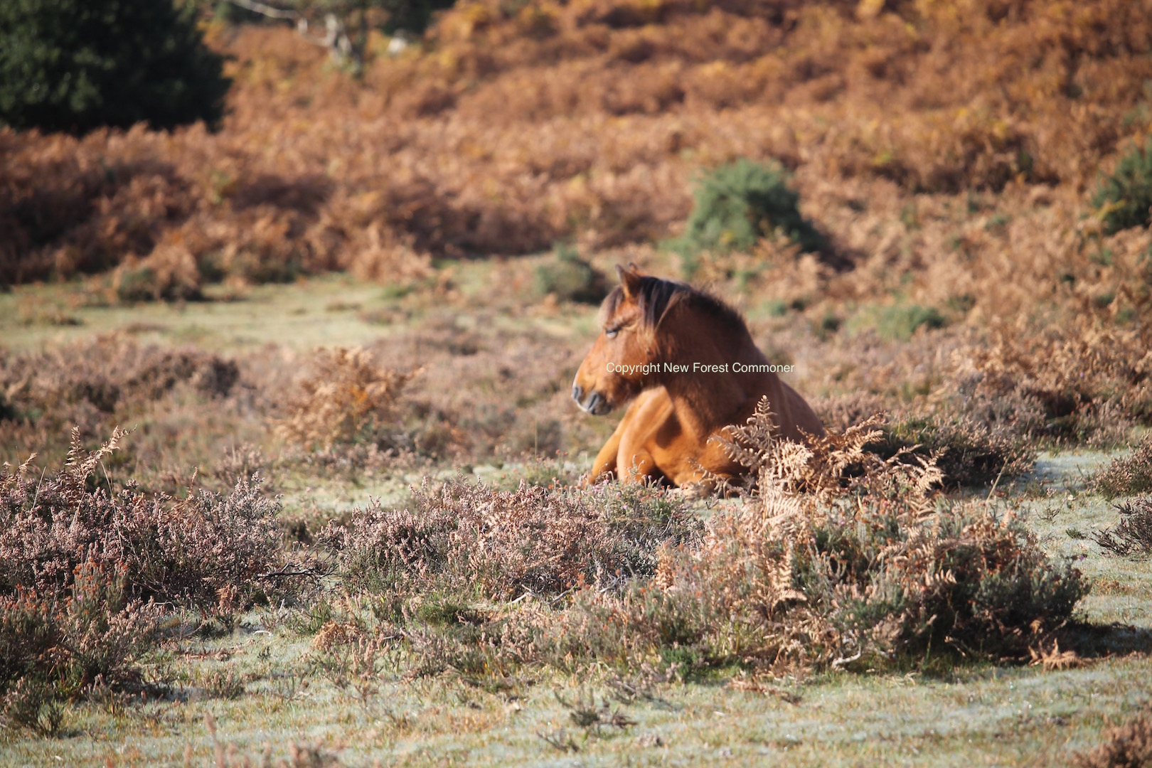The ponies are well-adapted to living on the New Forest, which includes  good camouflage.