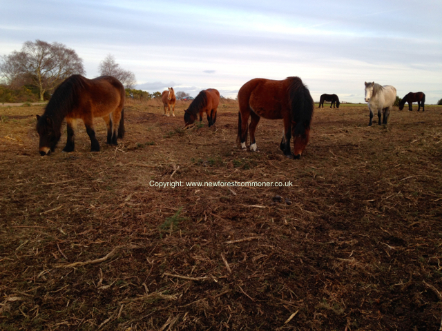 Traditional healthland management practices are appreciated by the ponies who benefit from the cutting and harvesting activities.