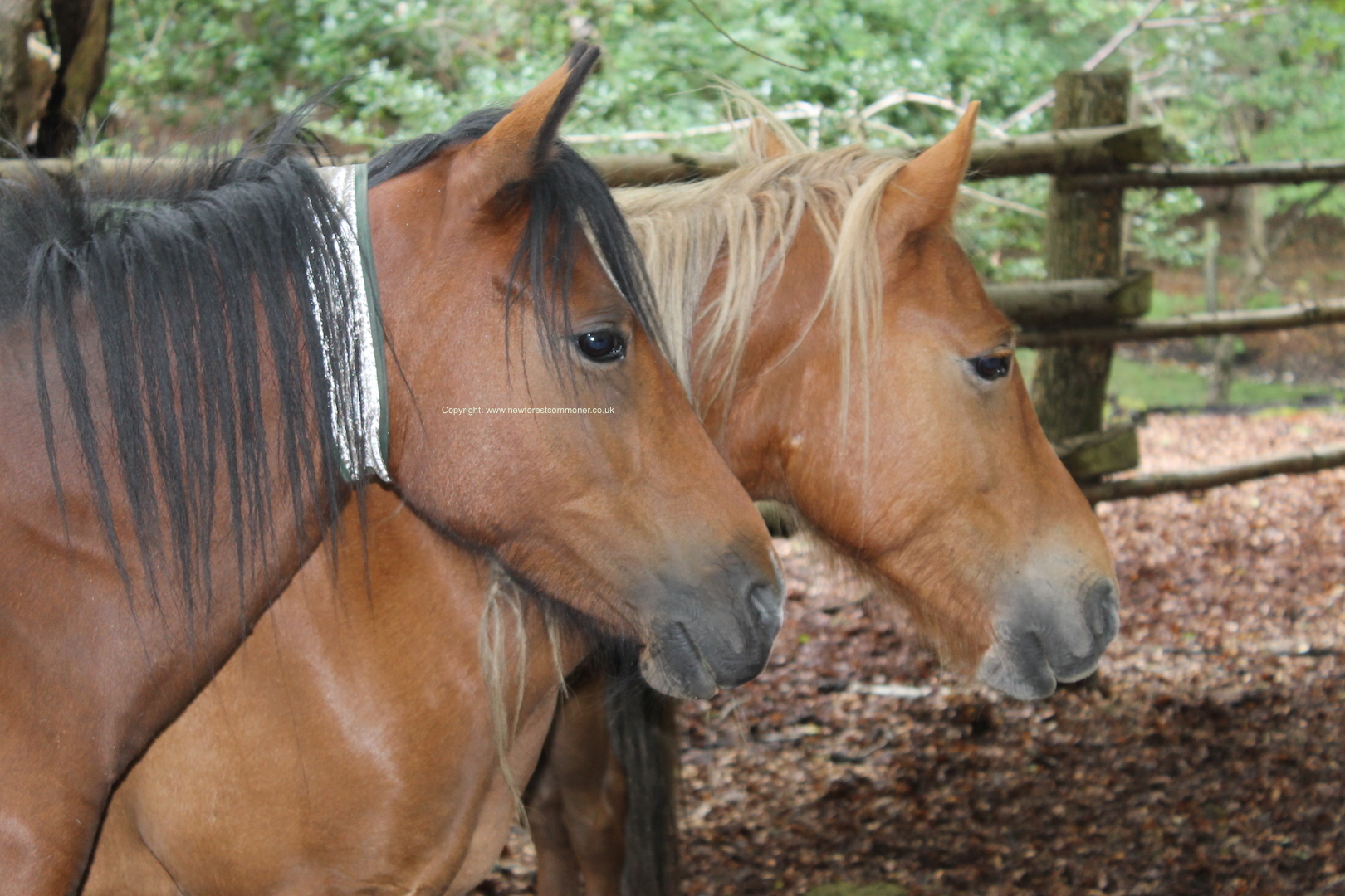 The high-viz reflective collars enable the ponies to be visible at night.