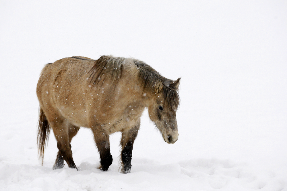 New forest ponies are very well adapted to the rigours of living 'wild' but need supplementary feeding in severe snow.