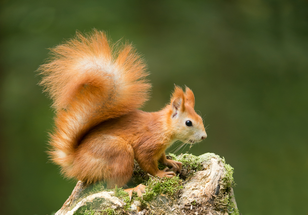 The New Forest was once home to a vast population of red squirrels.