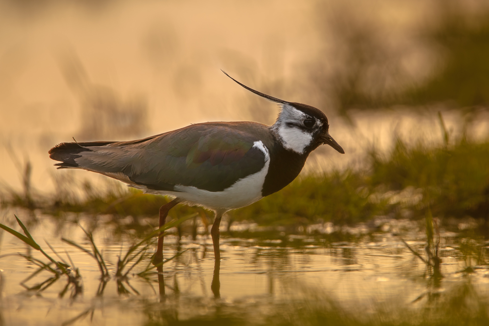 The lapwing is a regular visitor to the New Forest.