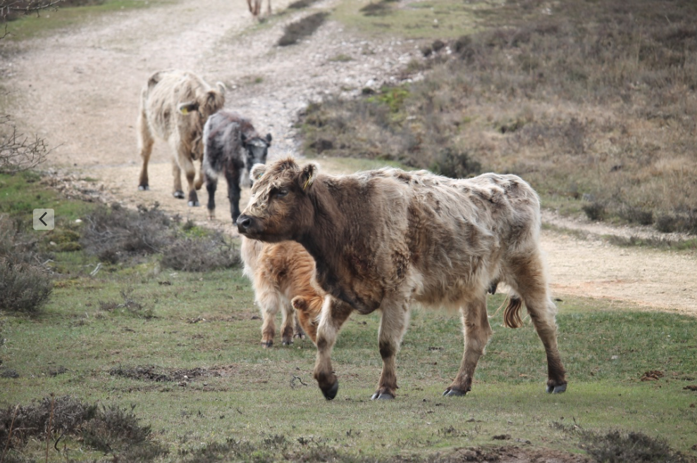 The free-roaming commonable livestock on the New Forest.