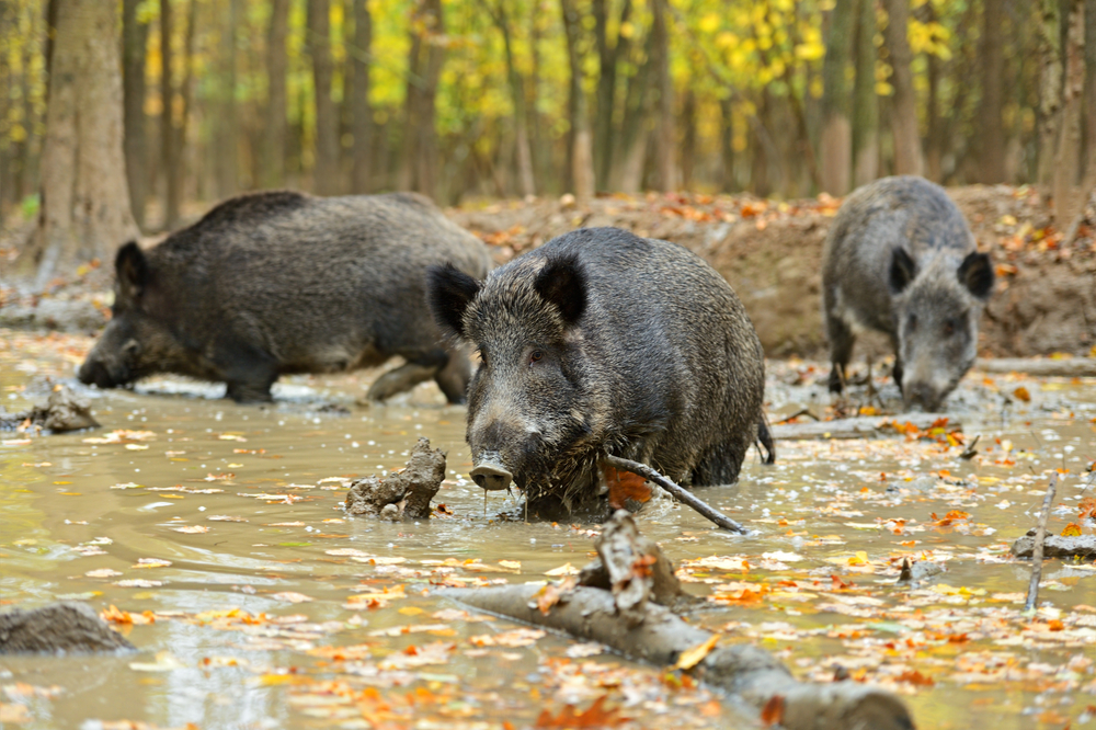 Wild boar once roamed freely in the New Forest but by the C17th were extinct.